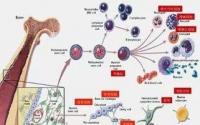 铸源昇生源牌红绿双宝哪儿买,真的能补骨髓和激活干细胞吗