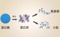 什么是肽?小分子肽的准确定义