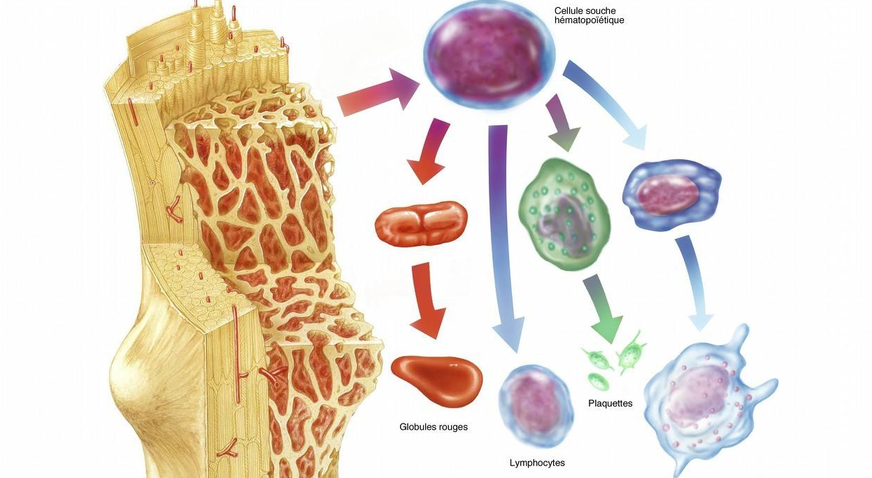 为什么说骨髓是生命之根