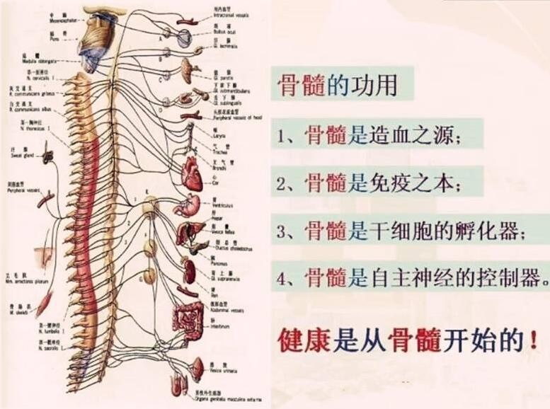 骨髓的作用.jpg