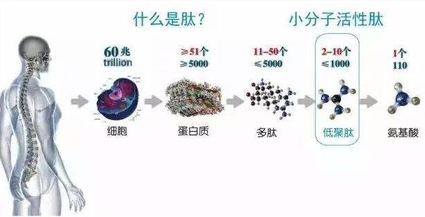 什么是小分子肽.png