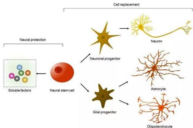 干细胞能修复神经吗.png