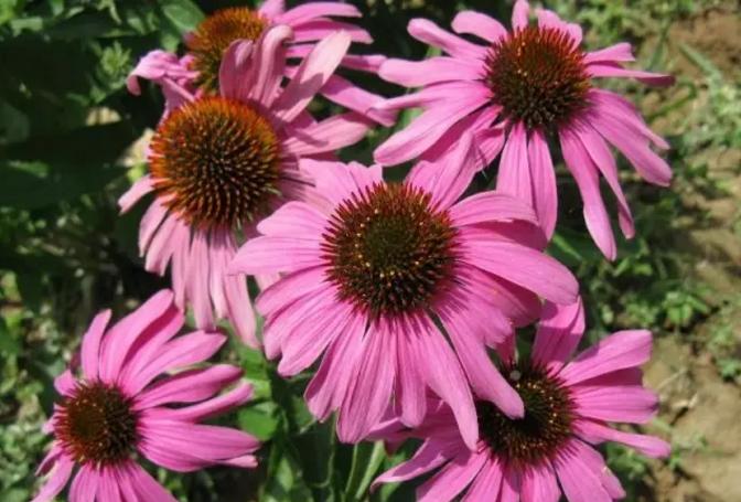 紫锥菊的功效与作用.png