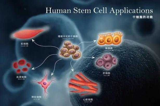 干细胞功能与作用.png