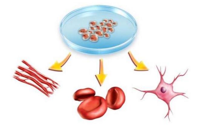 干细胞修复神经.png