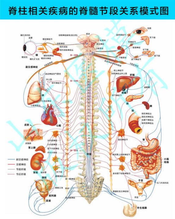 痛在脊柱,病在脏腑:揭示脊柱里的健康秘密