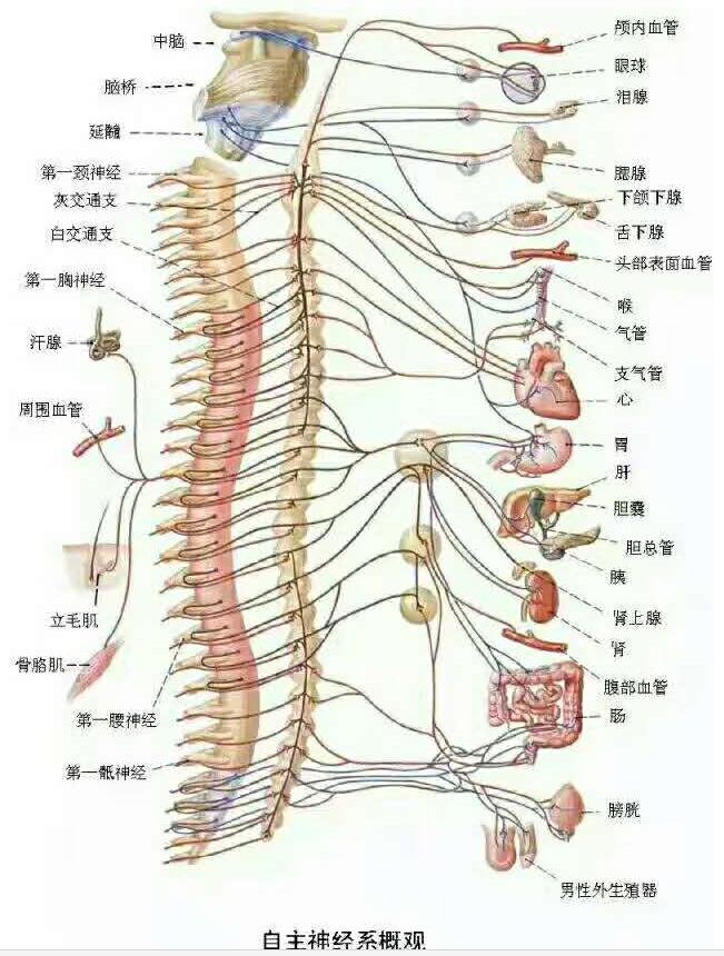 骨髓与神经系统.png
