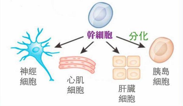 干细胞与糖尿病.png