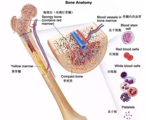 骨髓干细胞.png