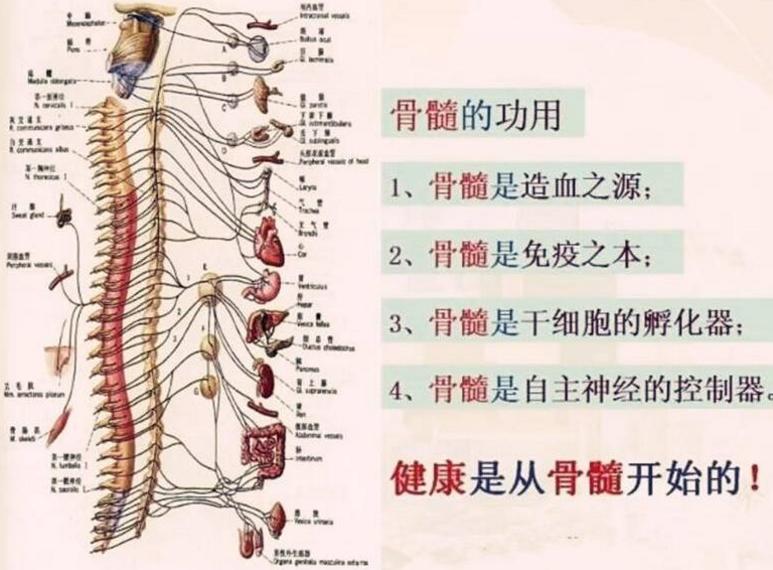 牛骨髓的作用.png