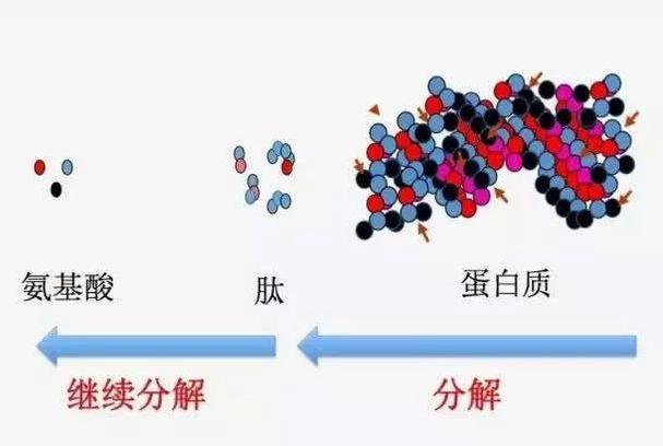 小分子肽好消化吸收吗?服用肽会不会加重肠胃的负担?