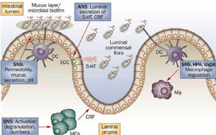 小分子肽对免疫细胞的作用——血管活性肠肽